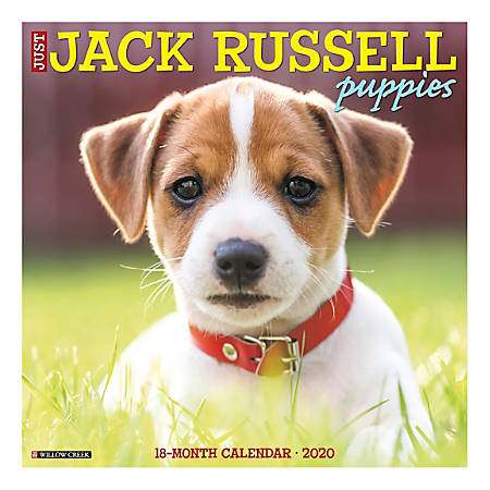 """Willow Creek Press Animals Monthly Wall Calendar, 12"""" x 12"""", Jack Russel Puppies, January To December 2020"""