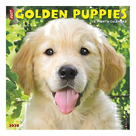 "Willow Creek Press Animals Monthly Wall Calendar, 12"" x 12"", Golden Puppies, January To December 2020"