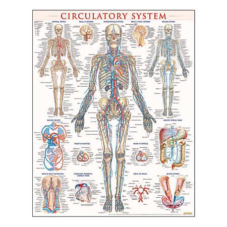 "QuickStudy Human Anatomical Poster, English, Circulatory System, 28"" x 22"""