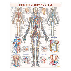 QuickStudy Human Anatomical Poster English Circulatory