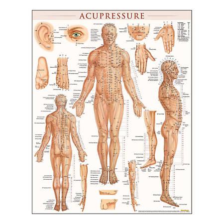 "QuickStudy Human Anatomical Poster, English, Acupressure, 28"" x 22"""