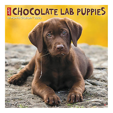 "Willow Creek Press Animals Monthly Wall Calendar, 12"" x 12"", Chocolate Lab Puppies, January To December 2020"