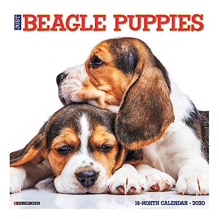 "Willow Creek Press Animals Monthly Wall Calendar, 12"" x 12"", Beagle Puppies, January To December 2020"