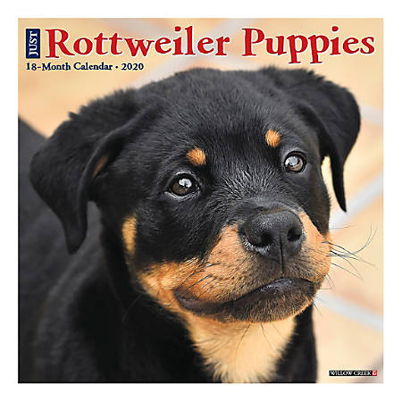 "Willow Creek Press Animals Monthly Wall Calendar, 12"" x 12"", Rottweiler Puppies, January To December 2020"
