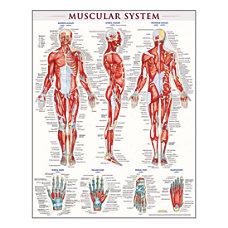 QuickStudy Human Anatomical Poster English Muscular