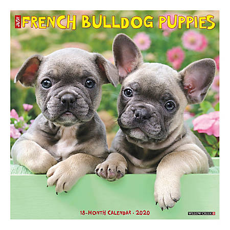 "Willow Creek Press Animals Monthly Wall Calendar, 12"" x 12"", French Bulldog Puppies, January To December 2020"