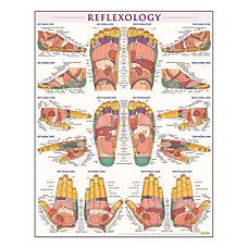 QuickStudy Human Anatomical Poster English Reflexology