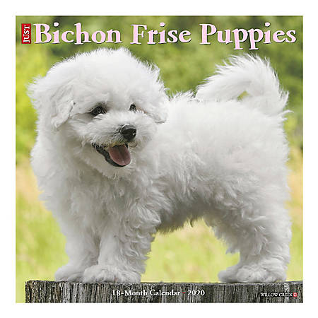"Willow Creek Press Animals Monthly Wall Calendar, 12"" x 12"", Bichon Frise Puppies, January To December 2020"