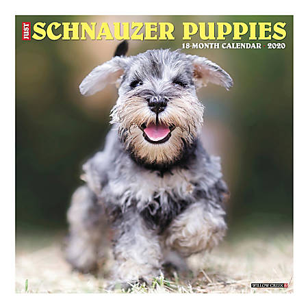 "Willow Creek Press Animals Monthly Wall Calendar, 12"" x 12"", Schnauzer Puppies, January To December 2020"
