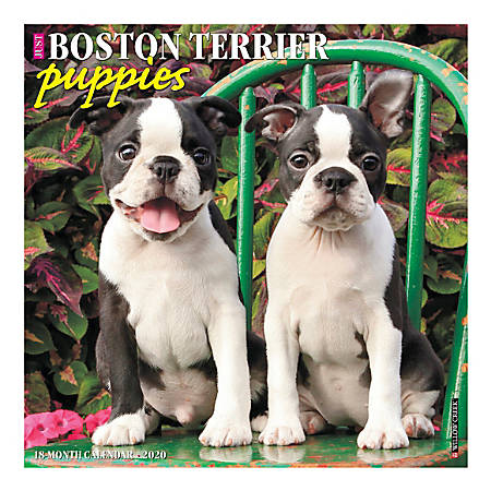 """Willow Creek Press Animals Monthly Wall Calendar, 12"""" x 12"""", Boston Terrier Puppies, January To December 2020"""