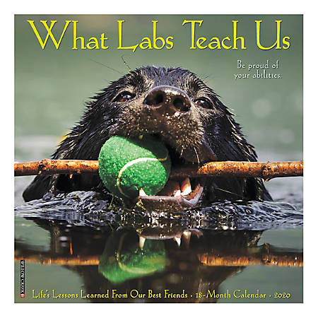 """Willow Creek Press Animals Monthly Wall Calendar, 12"""" x 12"""", What Labs Teach Us, January To December 2020"""