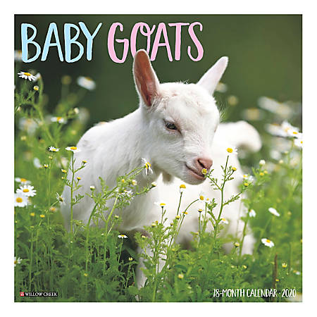 """Willow Creek Press Animals Monthly Wall Calendar, 12"""" x 12"""", Baby Goats, January To December 2020"""