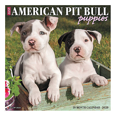 """Willow Creek Press Animals Monthly Wall Calendar, 12"""" x 12"""", American Pit Bull Terrier Puppies, January To December 2020"""