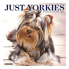 The tiny Yorkshire Terrier typified by