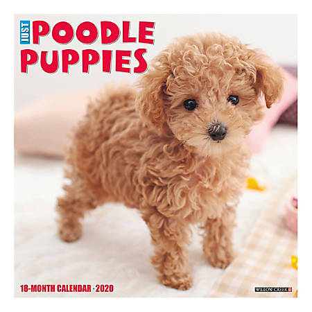 """Willow Creek Press Animals Monthly Wall Calendar, 12"""" x 12"""", Poodle Puppies, January To December 2020"""