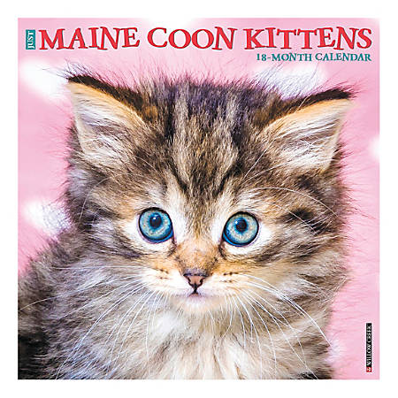 """Willow Creek Press Animals Monthly Wall Calendar, 12"""" x 12"""", Maine Coon Kittens, January To December 2020"""