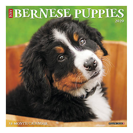 Willow Creek Press Animals Monthly Wall Calendar 12 X 12 Bernese Mountain Puppies January To December 2020 Item 8446756