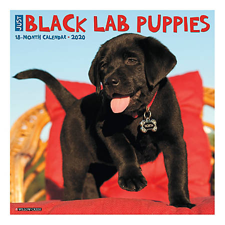 "Willow Creek Press Animals Monthly Wall Calendar, 12"" x 12"", Black Lab Puppies, January To December 2020"