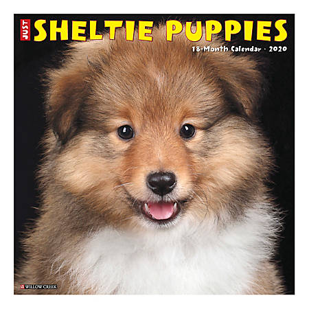 """Willow Creek Press Animals Monthly Wall Calendar, 12"""" x 12"""", Sheltie Puppies, January To December 2020"""