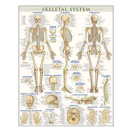 "QuickStudy Human Anatomical Poster, English, Skeletal System, 28"" x 22"""